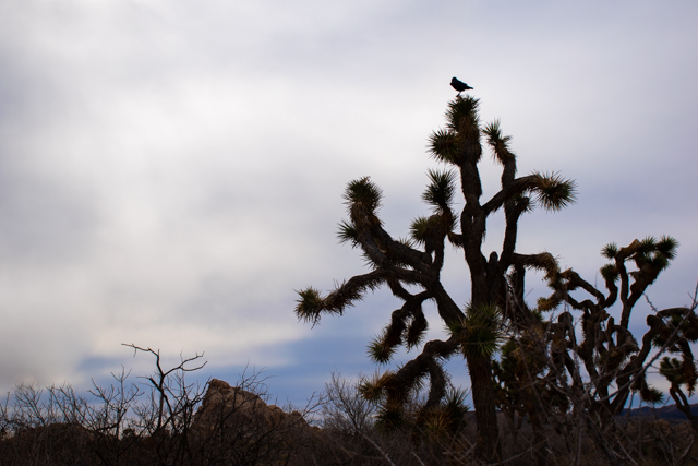 Crow in Yucca Tree | www.robertfeist.coim