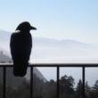 Raven, Big Sur, CA | www.robertfeist.com